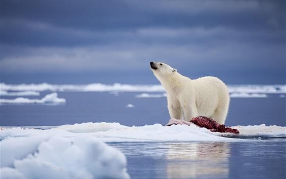 Обои Белый медведь, еда, снег, море