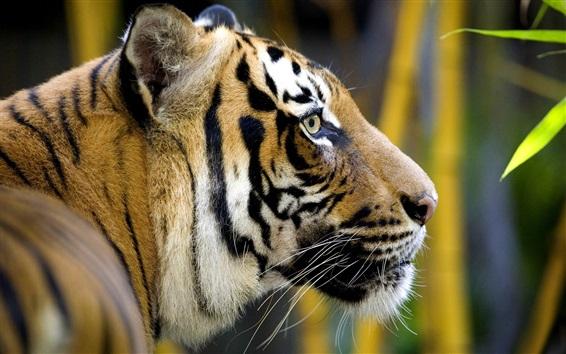 Papéis de Parede Predador, tigre, cabeça, lado, vista, bambu, folhas