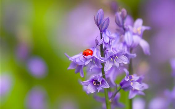 Fondos de pantalla Campanas púrpuras flores, mariquita, insecto
