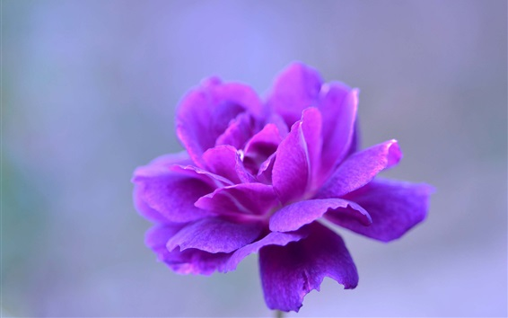 Wallpaper Purple petals flower macro photography, bokeh