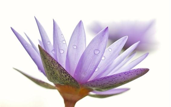 Обои Фиолетовый лепестки водяной лилии крупным планом, капли воды