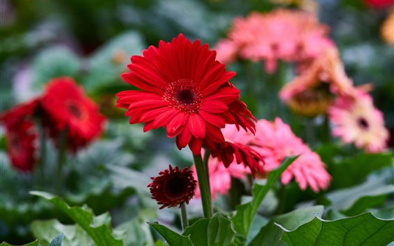 Wallpaper Red gerbera flowers
