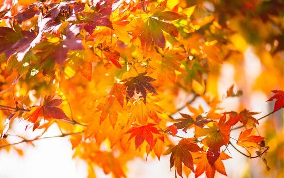Papéis de Parede Vermelho, Maple, folhas, Outono, galhos