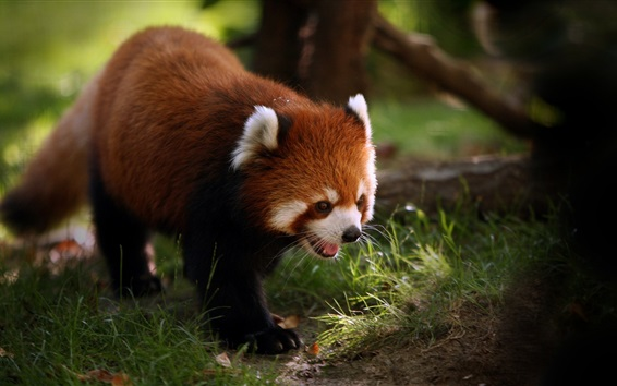 Papéis de Parede Caminhada de panda vermelha, bocejo