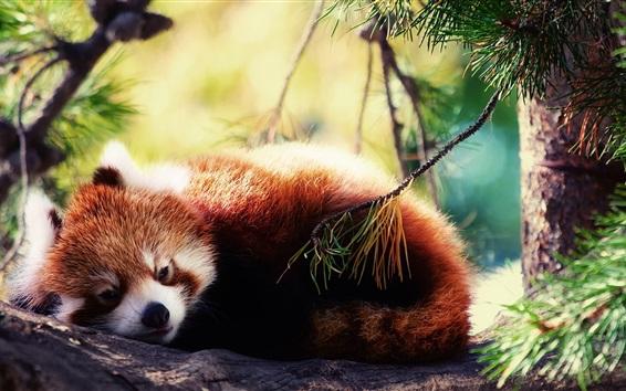 Обои Красная панда хочет спать