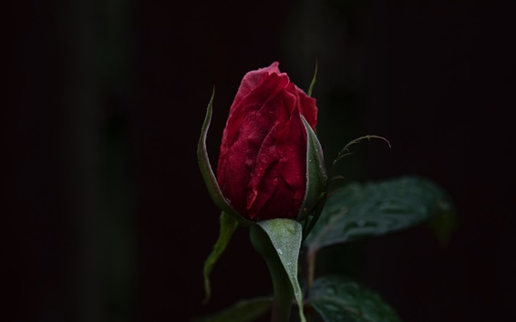 Обои Красный бутон розы, капли воды, темный фон
