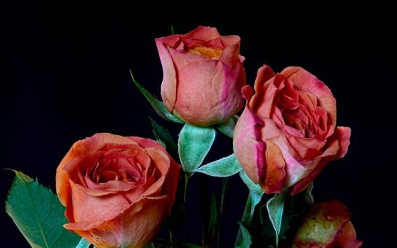 Обои Красные розы, черный фон