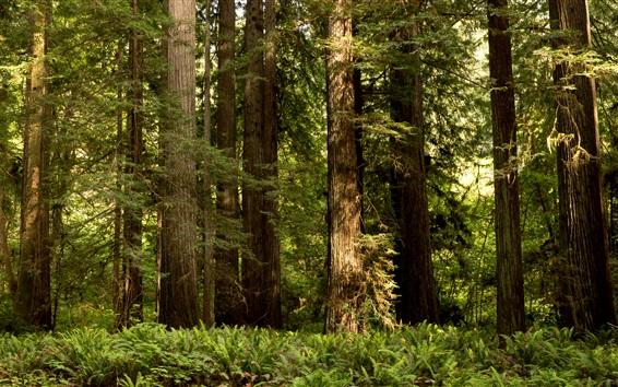 Papéis de Parede Redwood National Park, arbustos, árvores, EUA