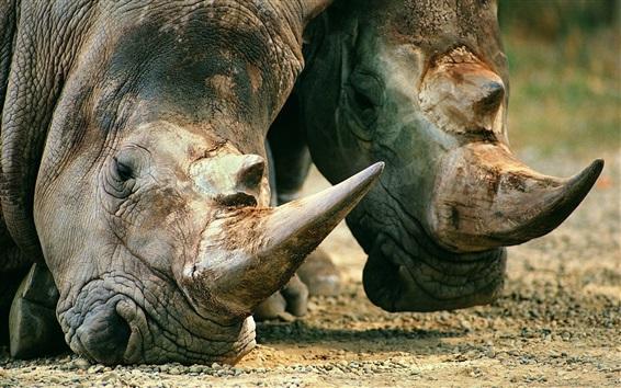Papéis de Parede Rinoceronte, cabeça, close-up, chifres