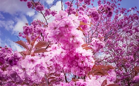Fondos de pantalla Sakura, flores de cerezo florecen, ramitas, primavera
