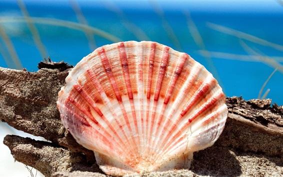 Wallpaper Seashell photography