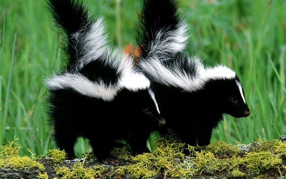 Wallpaper Skunks couple, black and white fur