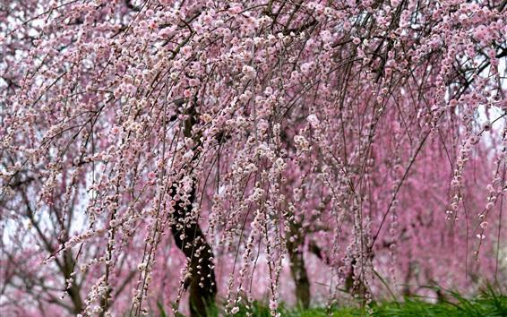 Fond d'écran Printemps, belle sakura, arbres, brindilles