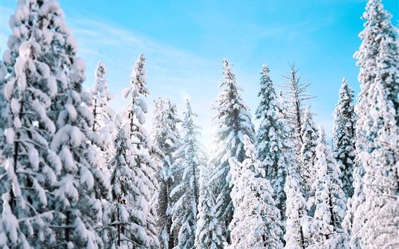 Fond d'écran Epicéa, arbres, hiver, neige épaisse