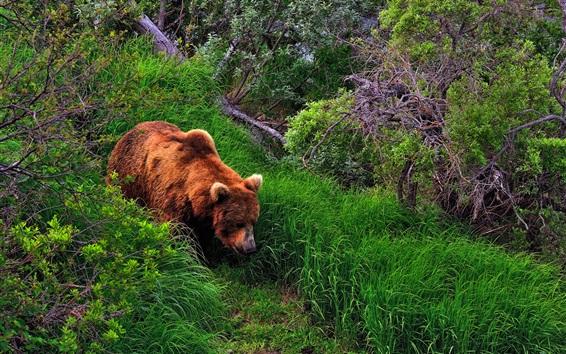 Обои Лето, бурый медведь, трава