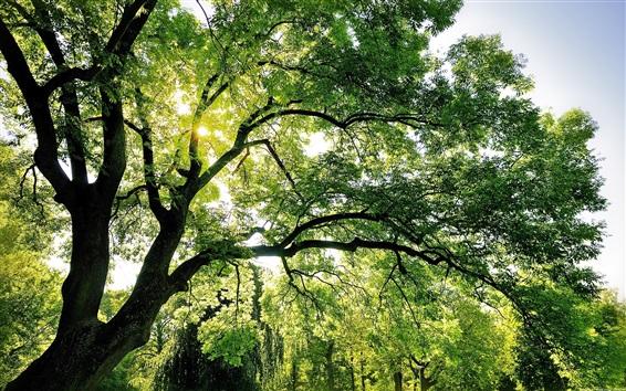 Papéis de Parede Verão, árvores, verde, galhos, sol, raios