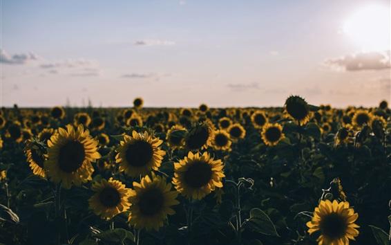 Wallpaper Sunflowers field at evening