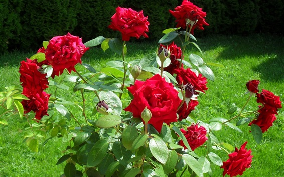 Papéis de Parede Dia ensolarado, grama, rosa vermelha