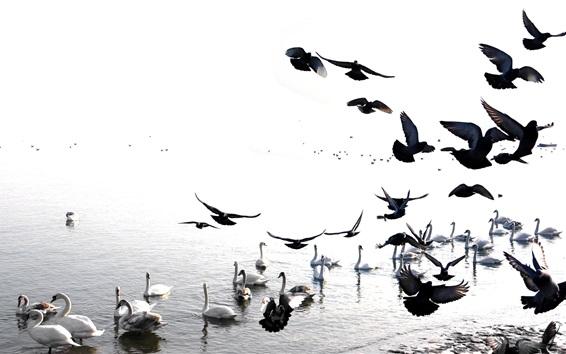 Wallpaper Swans and birds, lake