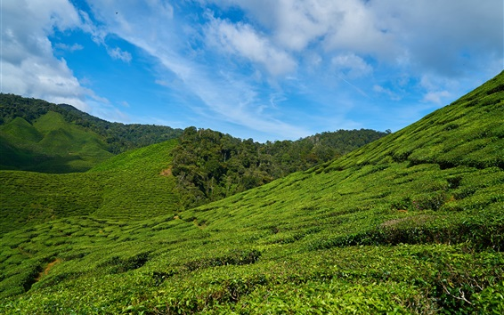 Wallpaper Tea plantations, slope, sky, Malaysia