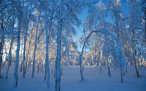 Обои Толстый снег, деревья, лес, зима, солнечный свет