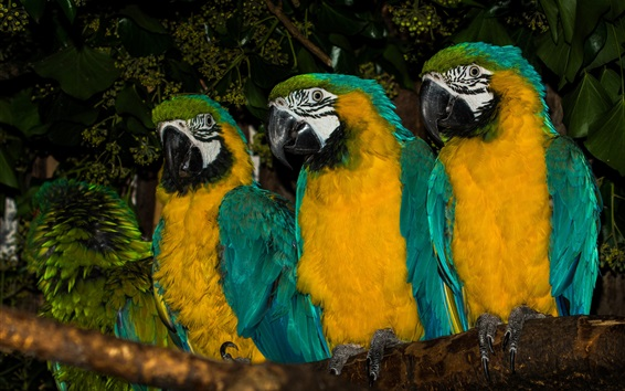 Wallpaper Three parrots, Blue-and-yellow macaw