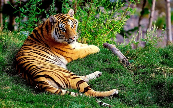 壁紙 草の中に横たわっているタイガー