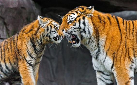 Обои Тигр мать и детеныш, забота
