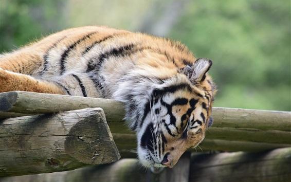 Wallpaper Tiger sleeping