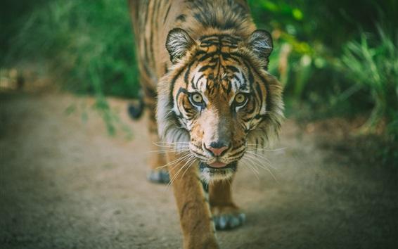 Papéis de Parede Tigre anda até você