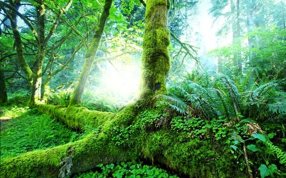Papéis de Parede Floresta tropical, árvores, musgo, verde
