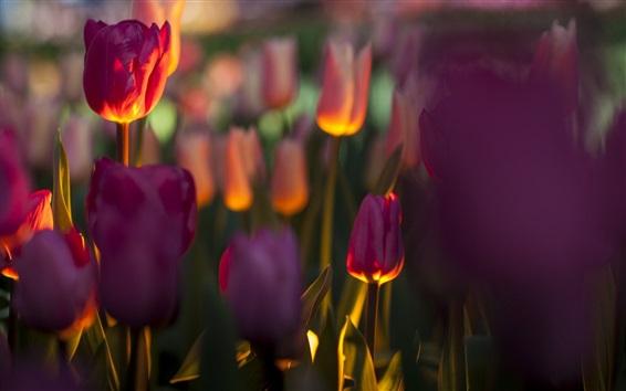 壁紙 チューリップ、花、バックライト