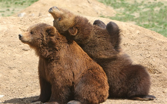 Wallpaper Two brown bears playful
