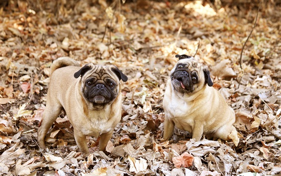 Papéis de Parede Dois, cachorros, folhas, outono
