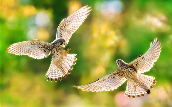 Fondos de pantalla Dos águilas juguetones, depredadores, alas, volando