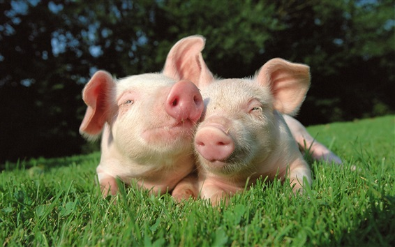 Wallpaper Two pigs in the grass