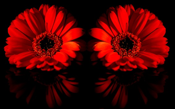 Wallpaper Two red daisy flowers