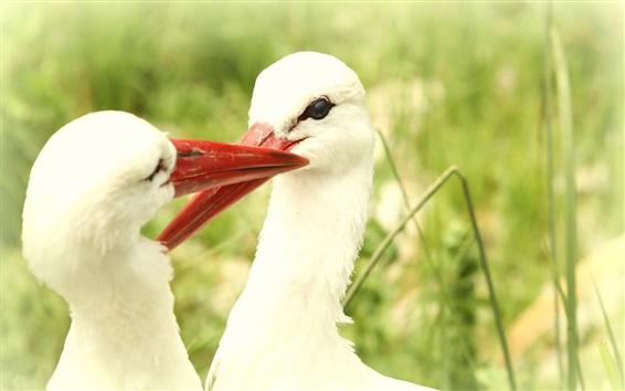 Fond d'écran Deux oiseaux blancs, des cigognes
