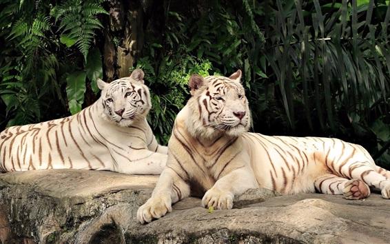 Papéis de Parede Dois tigres brancos descansam