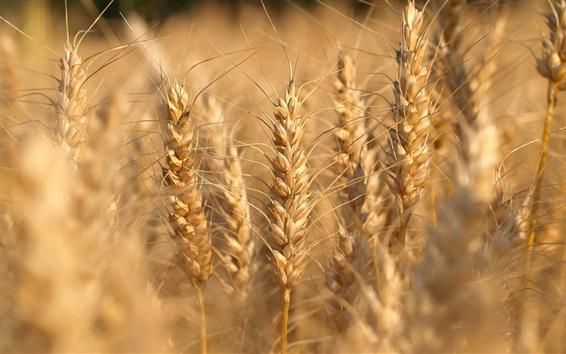 Fond d'écran Gros plan de blé