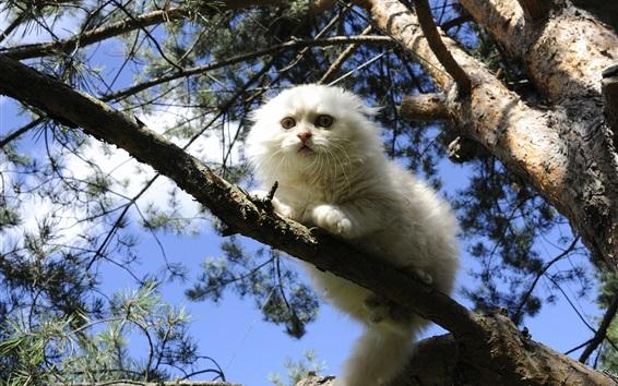 Papéis de Parede Gato branco da dobra do Scottish na árvore