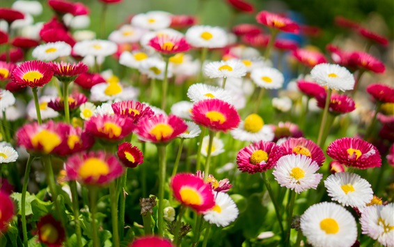 Wallpaper White and pink daisies, flowers photography