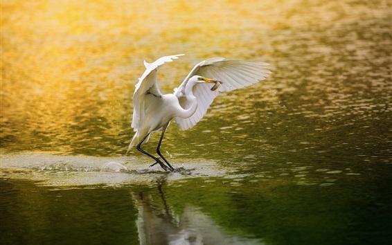 Wallpaper White bird, egret, fishing, lake, water
