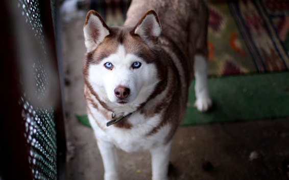 Wallpaper White brown husky dog look at you