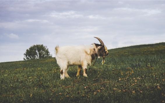 Обои Белый козел, рога, трава