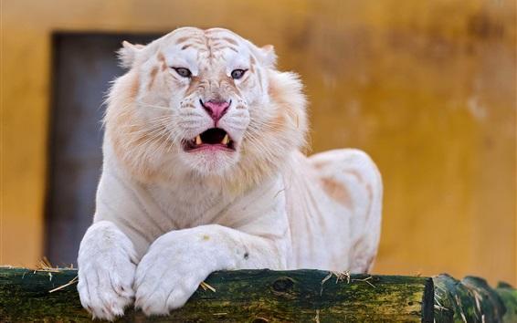 Обои Белый тигр, лицо, вид спереди