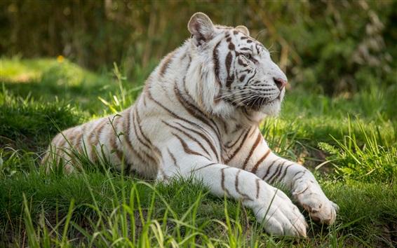 Papéis de Parede Tigre branco, grama, gato grande
