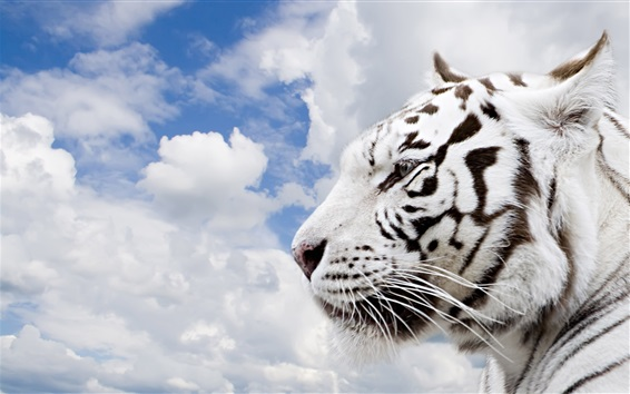 Wallpaper White tiger side view, head, clouds