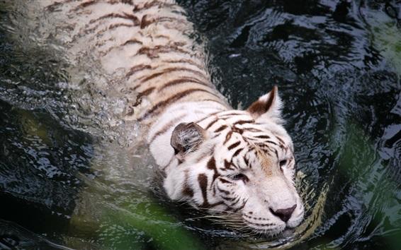 Обои Белый тигр плавает