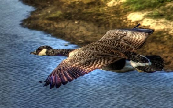 壁紙 ワイルドアヒル飛行、翼